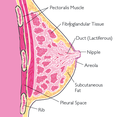 Fibroglandular tissue and breast tissue